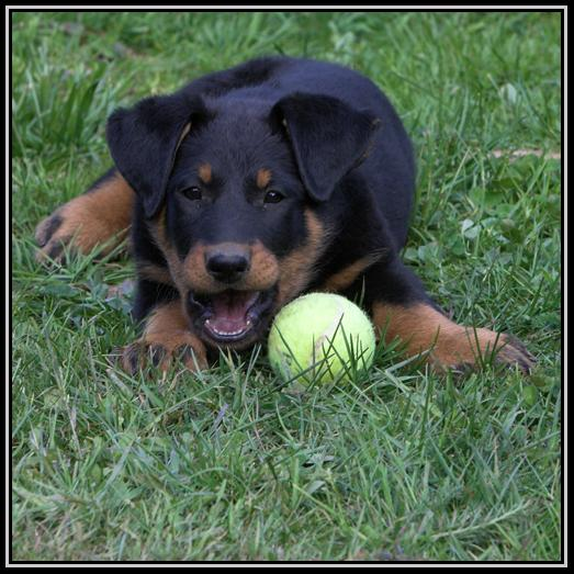 Beauceron Best Puppy